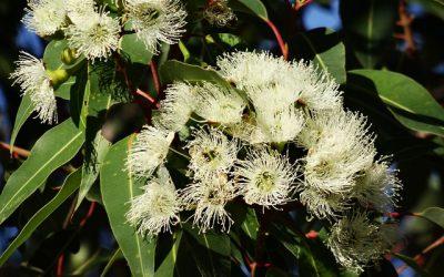 L'huile essentielle d'Eucalyptus Globulus de BioNéo