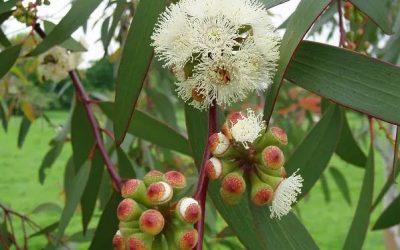 Huile essentielle d'Eucalyptus radiata Bionéo Madagsacar