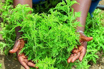 Artemisia et santé corporelle